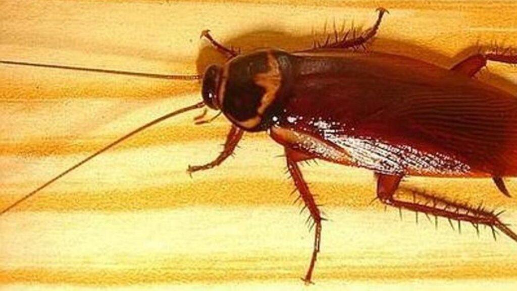 Cucaracha subterránea de Gran Canaria